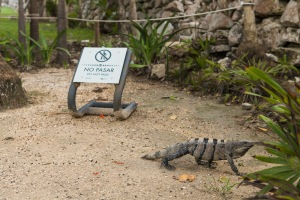 Disobedient iguana at Tulum (this one, presumably, is non-vegetarian.)