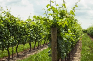 Where chardonnay comes from.