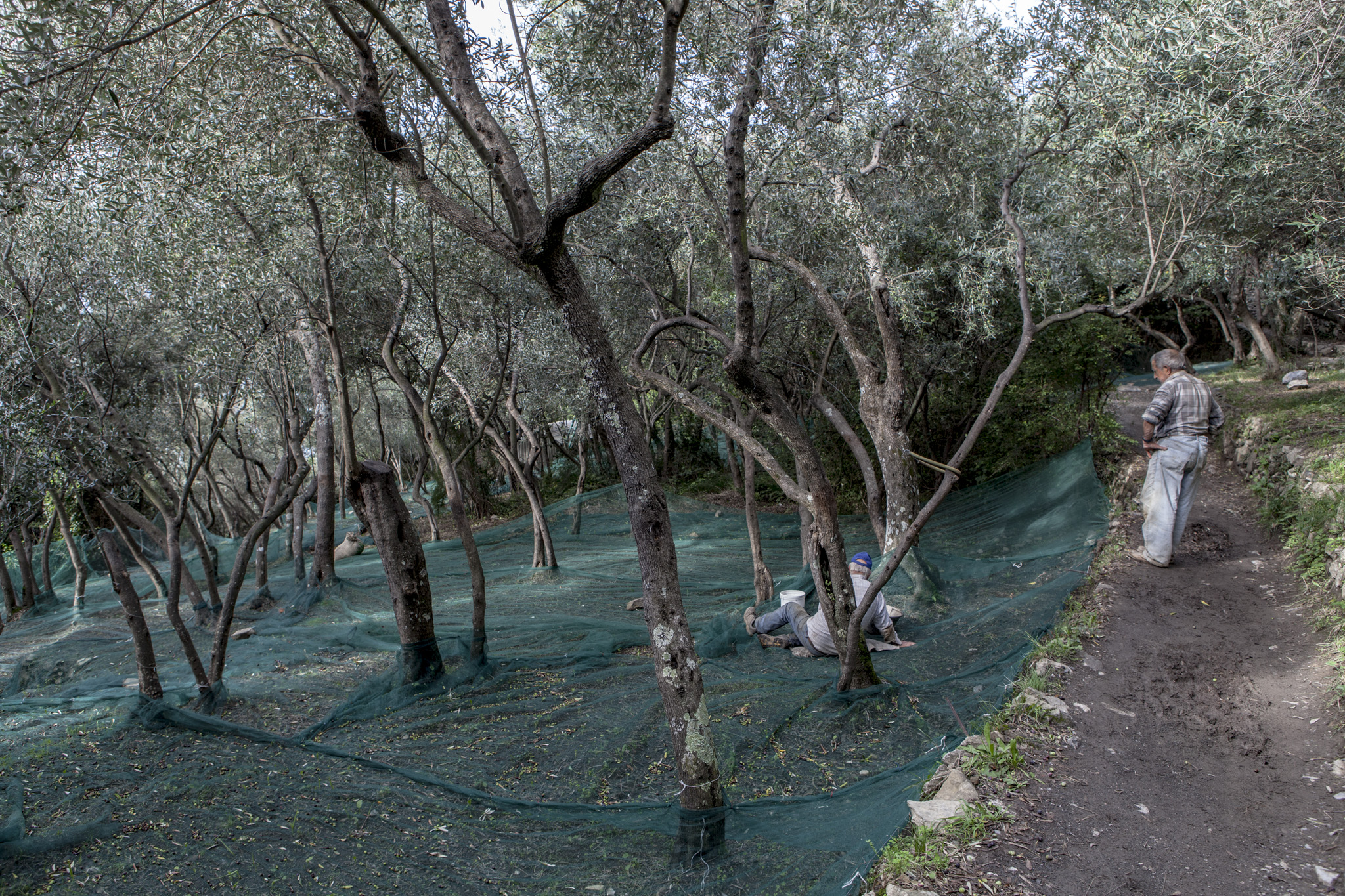 Gruff farmers collecting olives in giant nets.