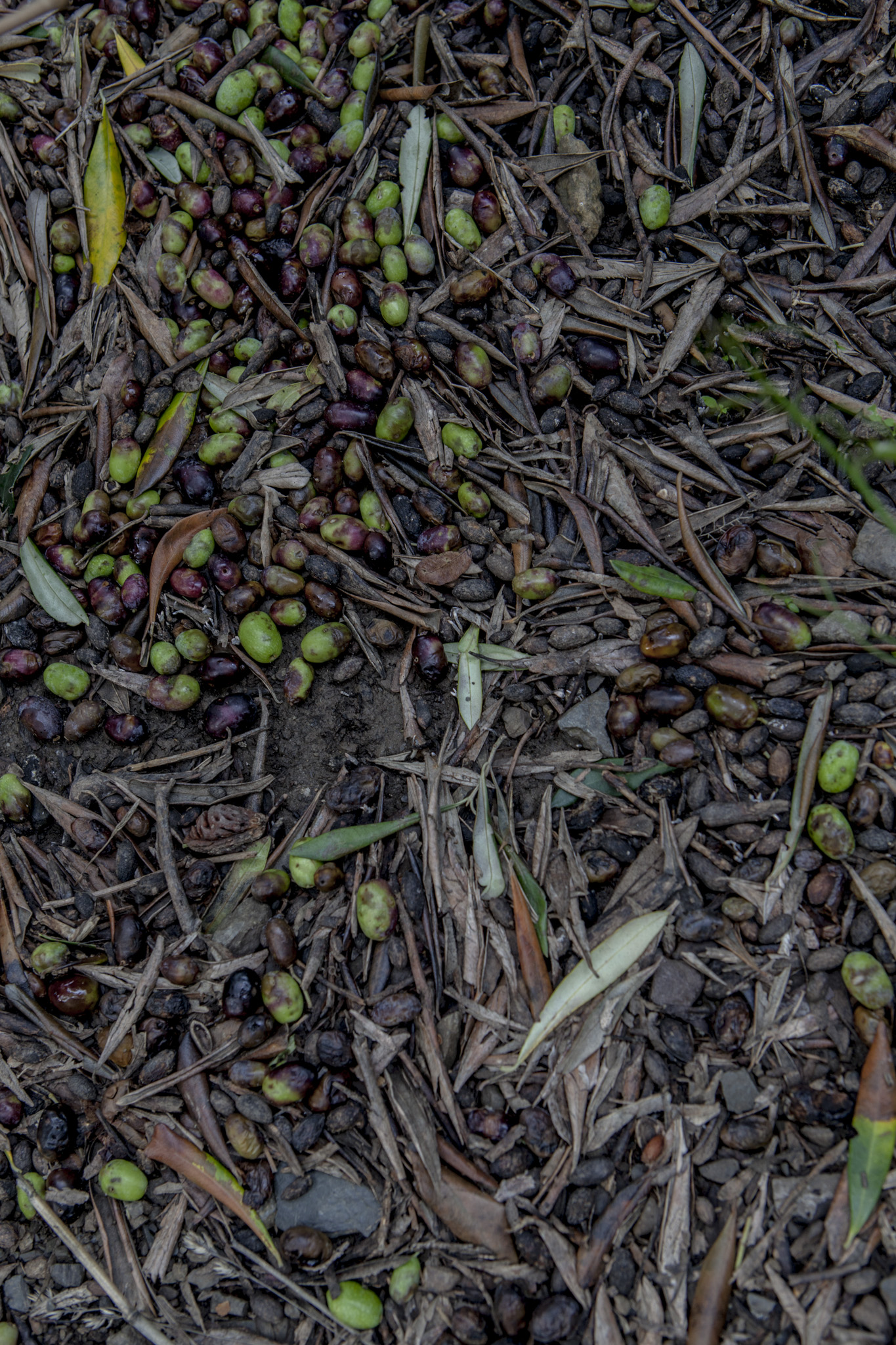 The road to paradise is paved with... olives.